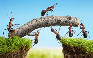 Ants working as a team