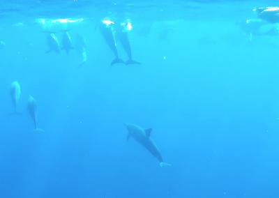Big Island Adventure - Dolphins Swim